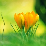 Yellow-flower-24204996